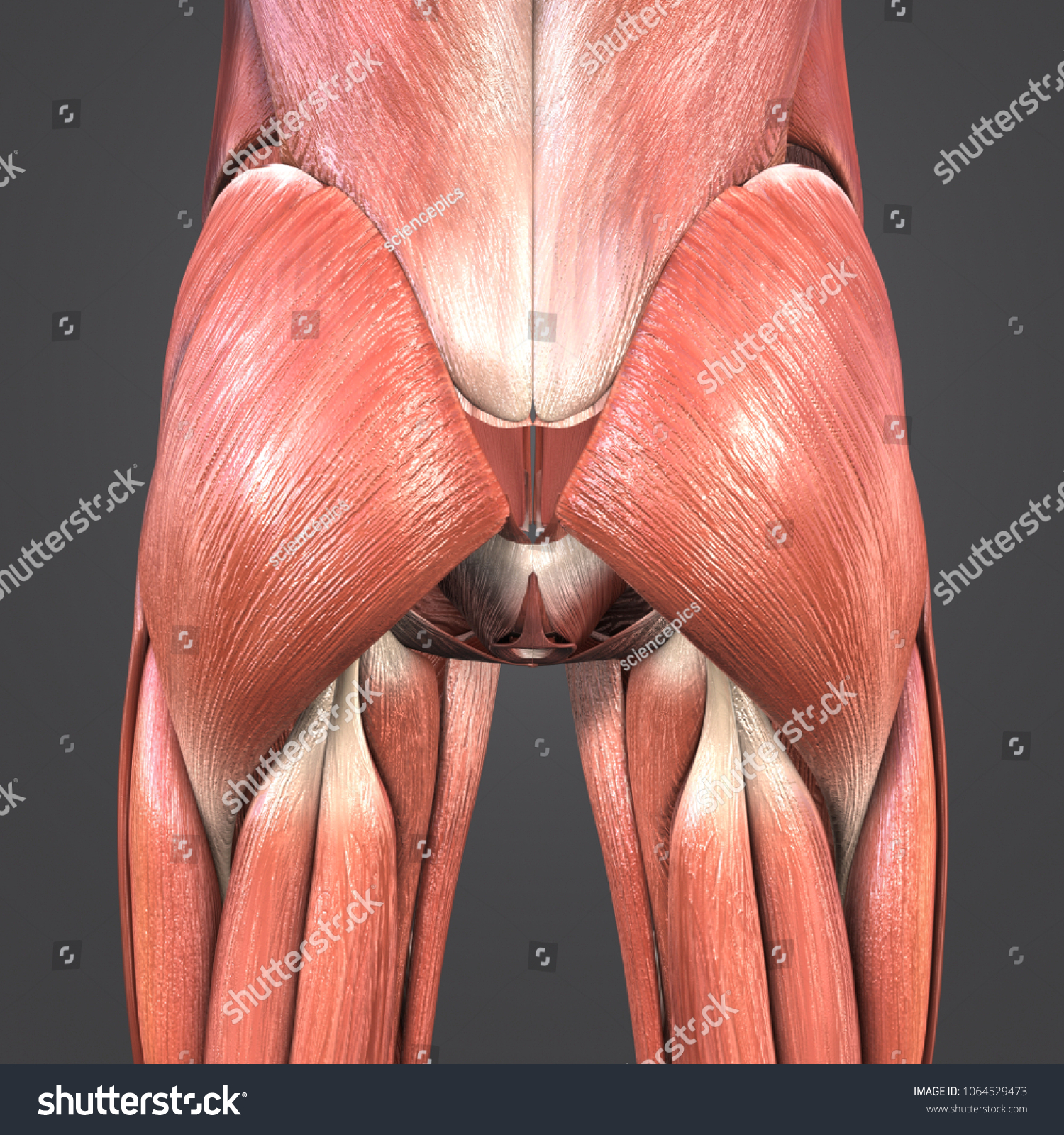 Hip Muscles Anatomy Posterior View 3 D Stock Illustration 1064529473 ...