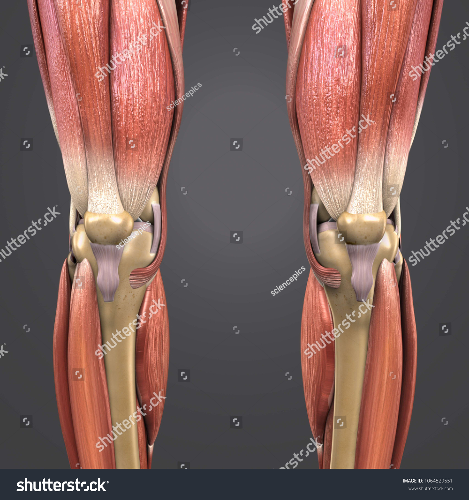 Knee Joint Muscle Anatomy Skeleton Anterior Stock Illustration ...