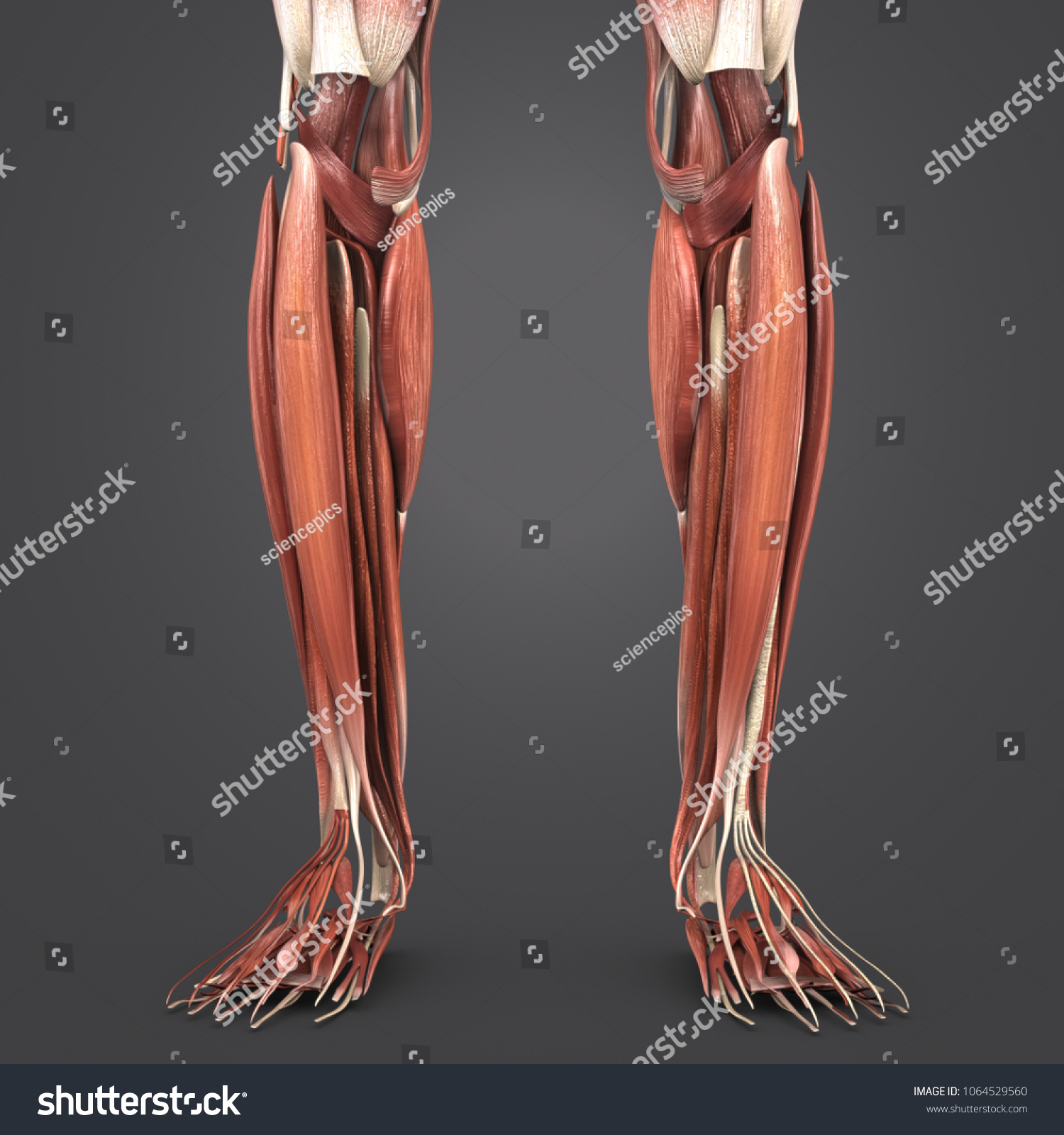 Leg Muscle Anatomy Anterior View 3 D Stock Illustration 1064529560