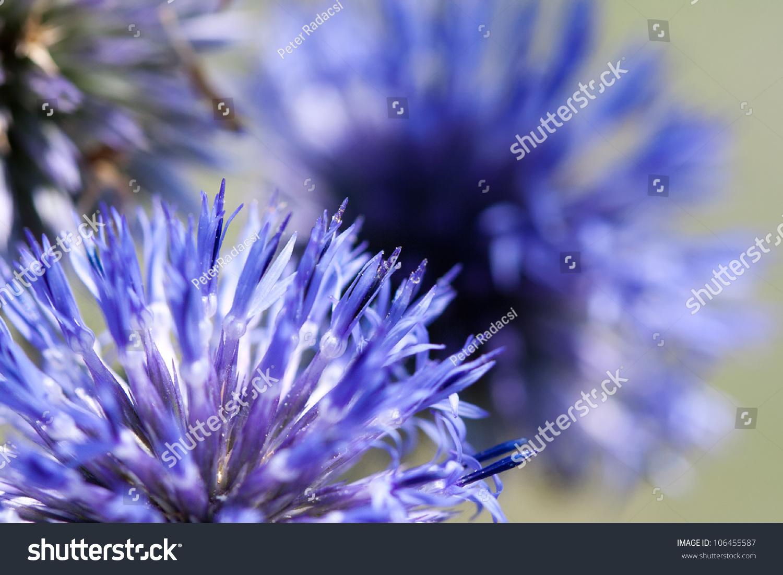 Ball Shaped Blue Flowers Echinops Ruthenicus Stock Photo Edit Now