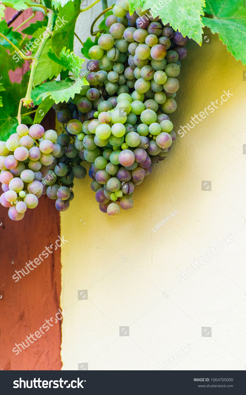 Bunch Grapes Hanging On Vine Against Stock Photo (Edit Now ...