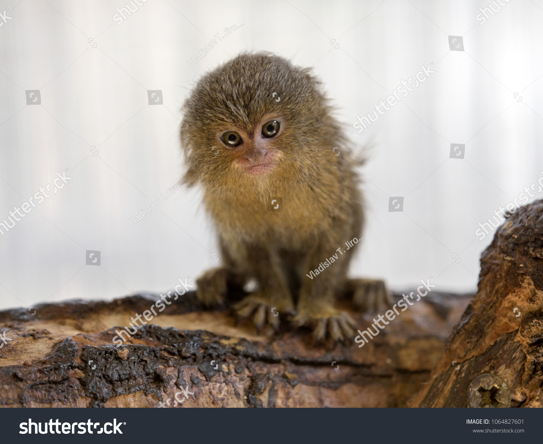 Pygmy Marmoset Callithrix Pygmaea Niveiventris Female Stock Photo Edit Now 1064827601