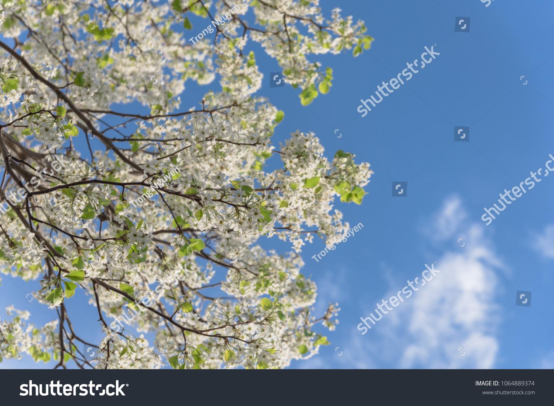 Beautiful White Flowering Bradford Pear Pyrus Stock Photo Edit Now
