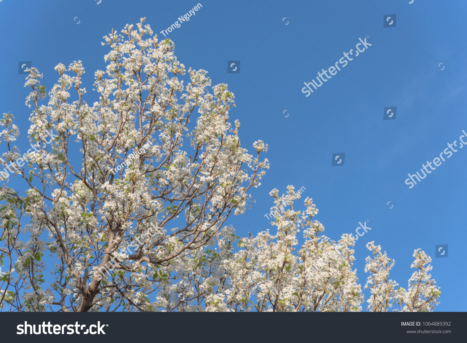 Beautiful White Flowering Bradford Pear Pyrus Stock Photo Edit Now