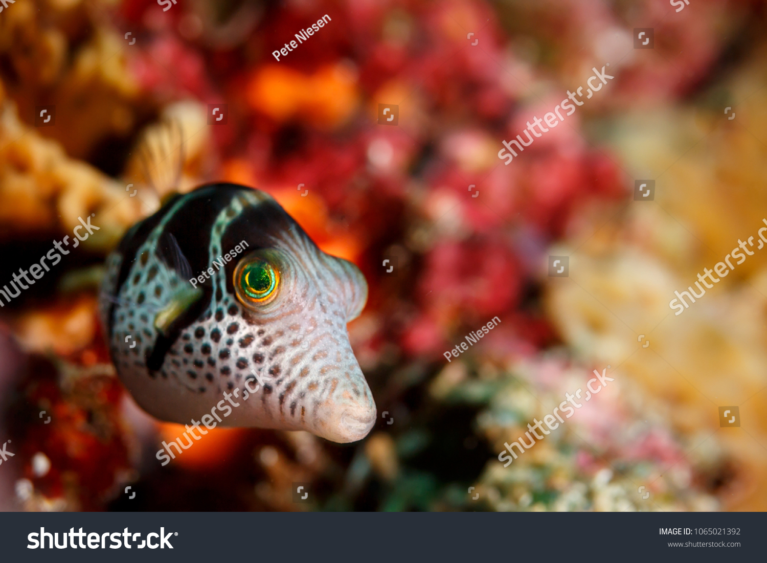 Close Face Juvenile Puffer Fish Stock Photo (100% Legal Protection ...
