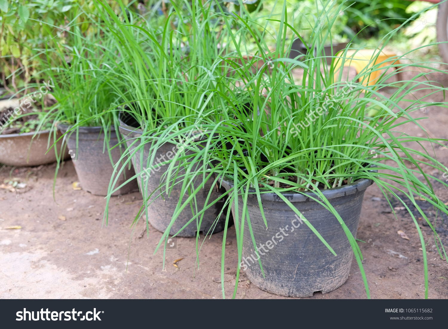 Image of: Chinese Chive Growing Pot Stock Photo Edit Now 1065115682