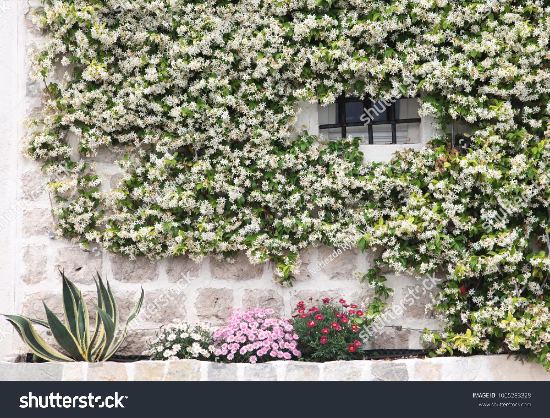 Fragment Stone Wall Overgrown Flowering Jasmine Stock Photo Edit