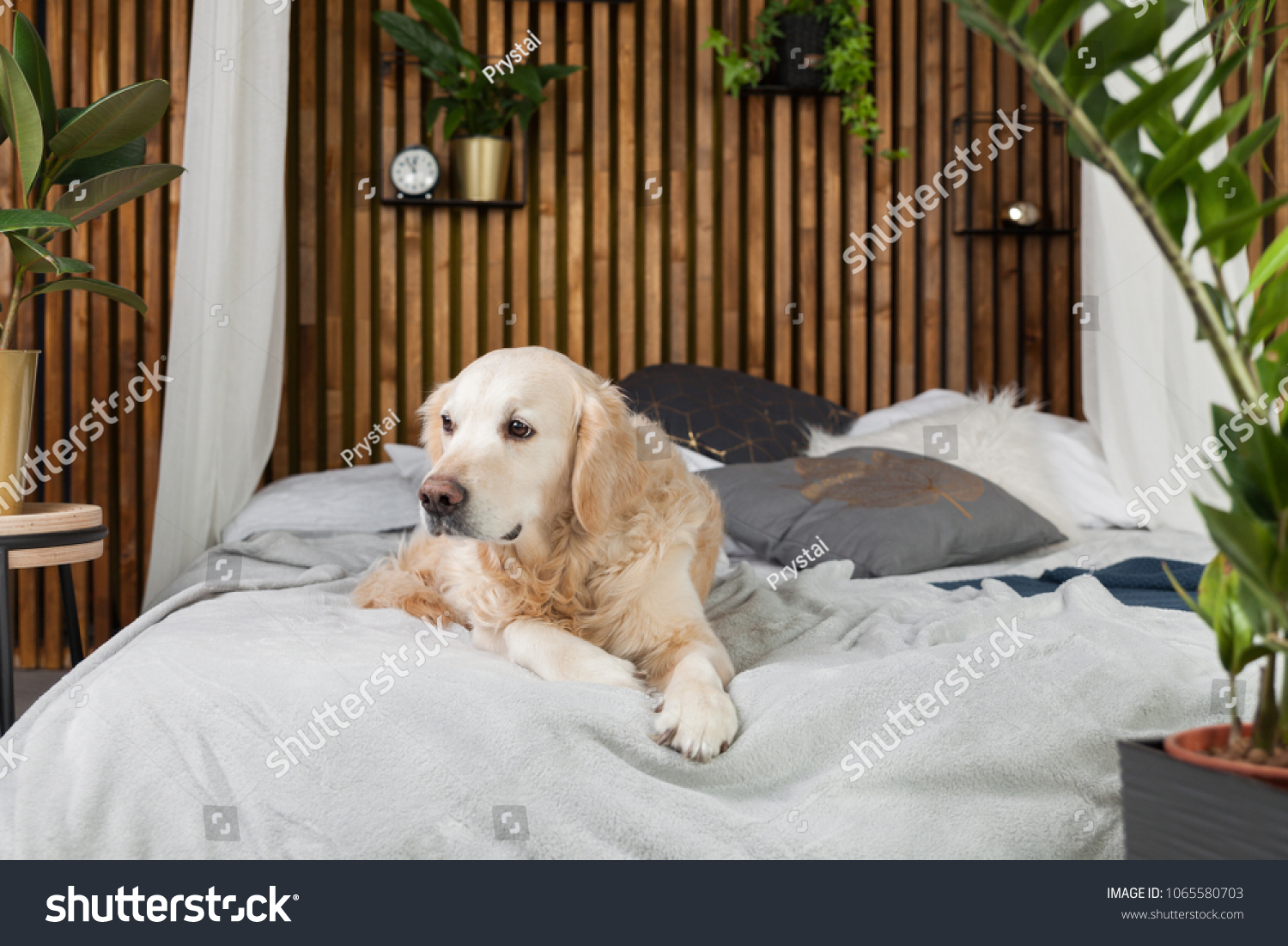 Golden Retriever Pure Breed Puppy Dog Stock Photo Edit Now
