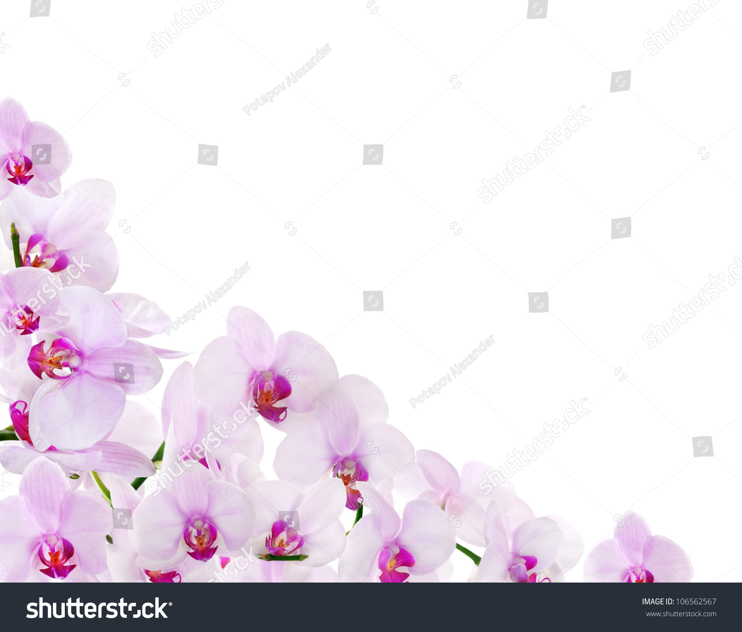 White Orchid Water Pink: Light Pink Orchid Corner Isolated On Stock Photo 106562567