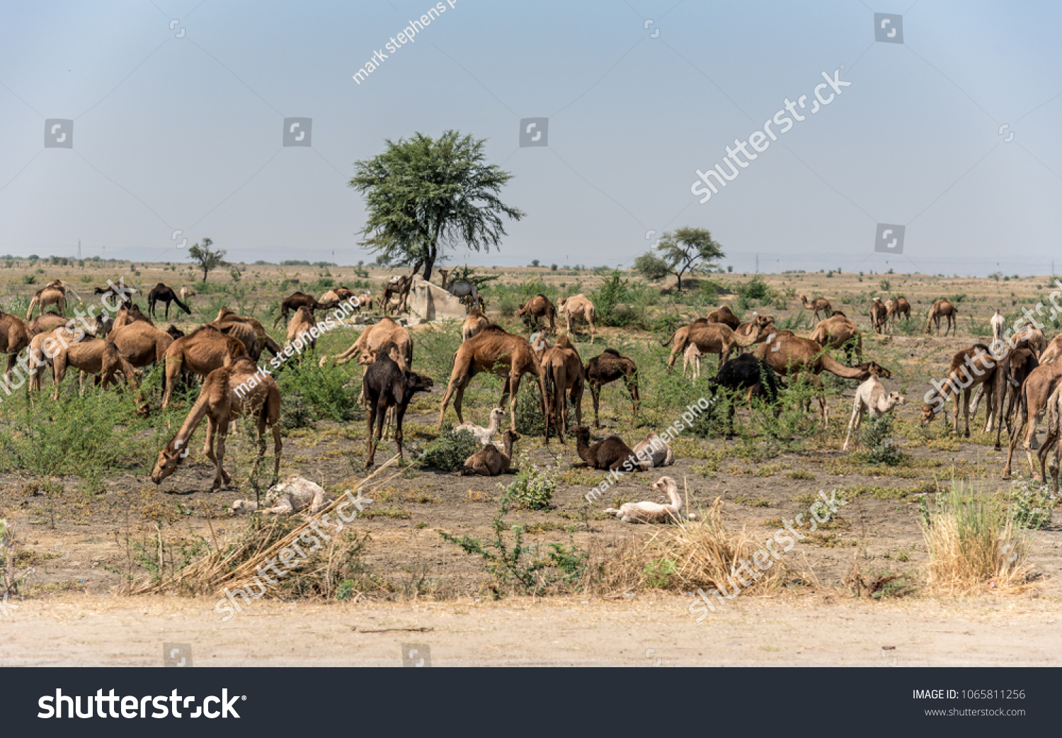 stock-photo-a-herd-or-caravan-train-of-i