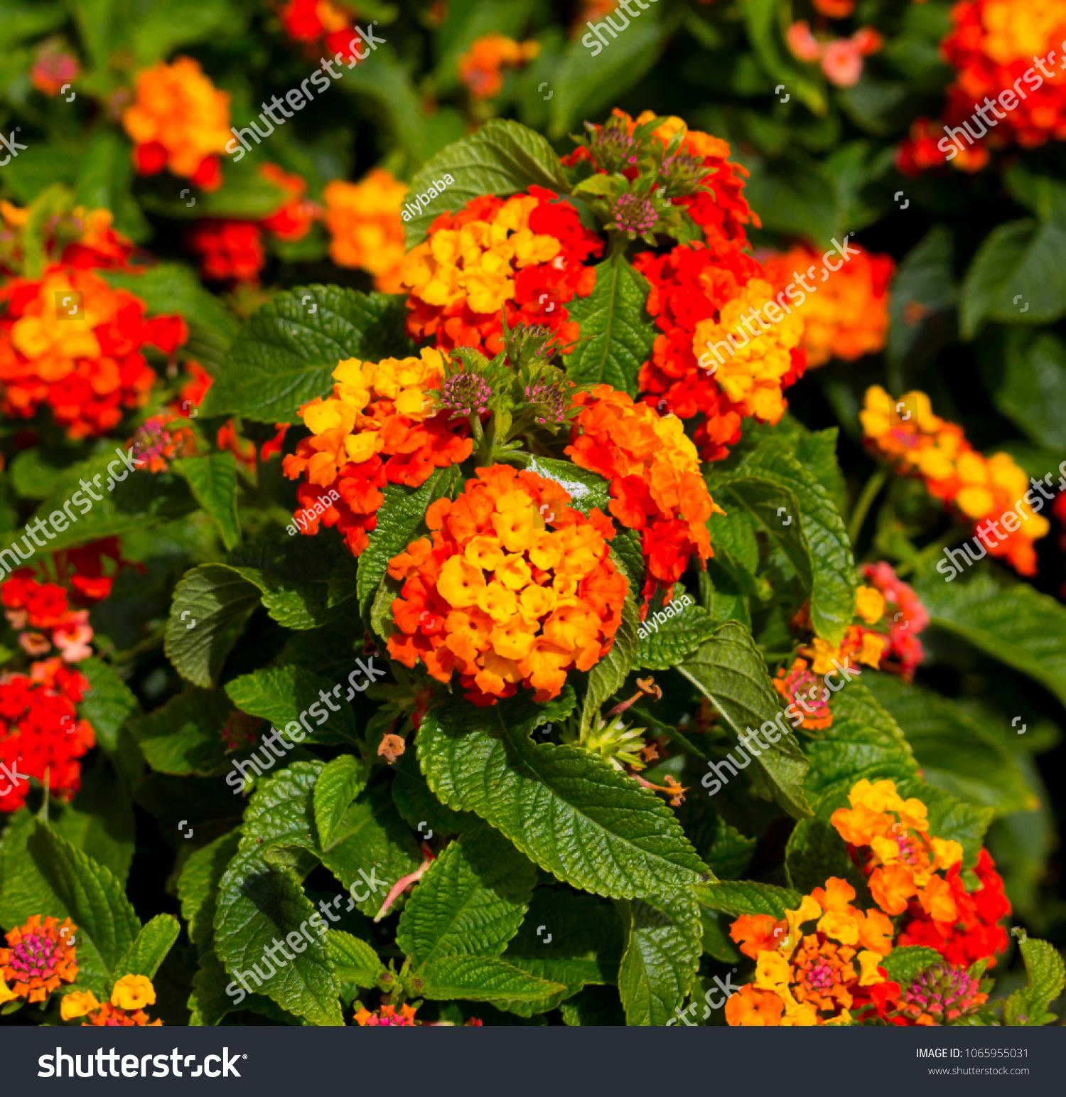 Lantanas Aromatic Flower Clusters Called Umbels Stock Photo Edit
