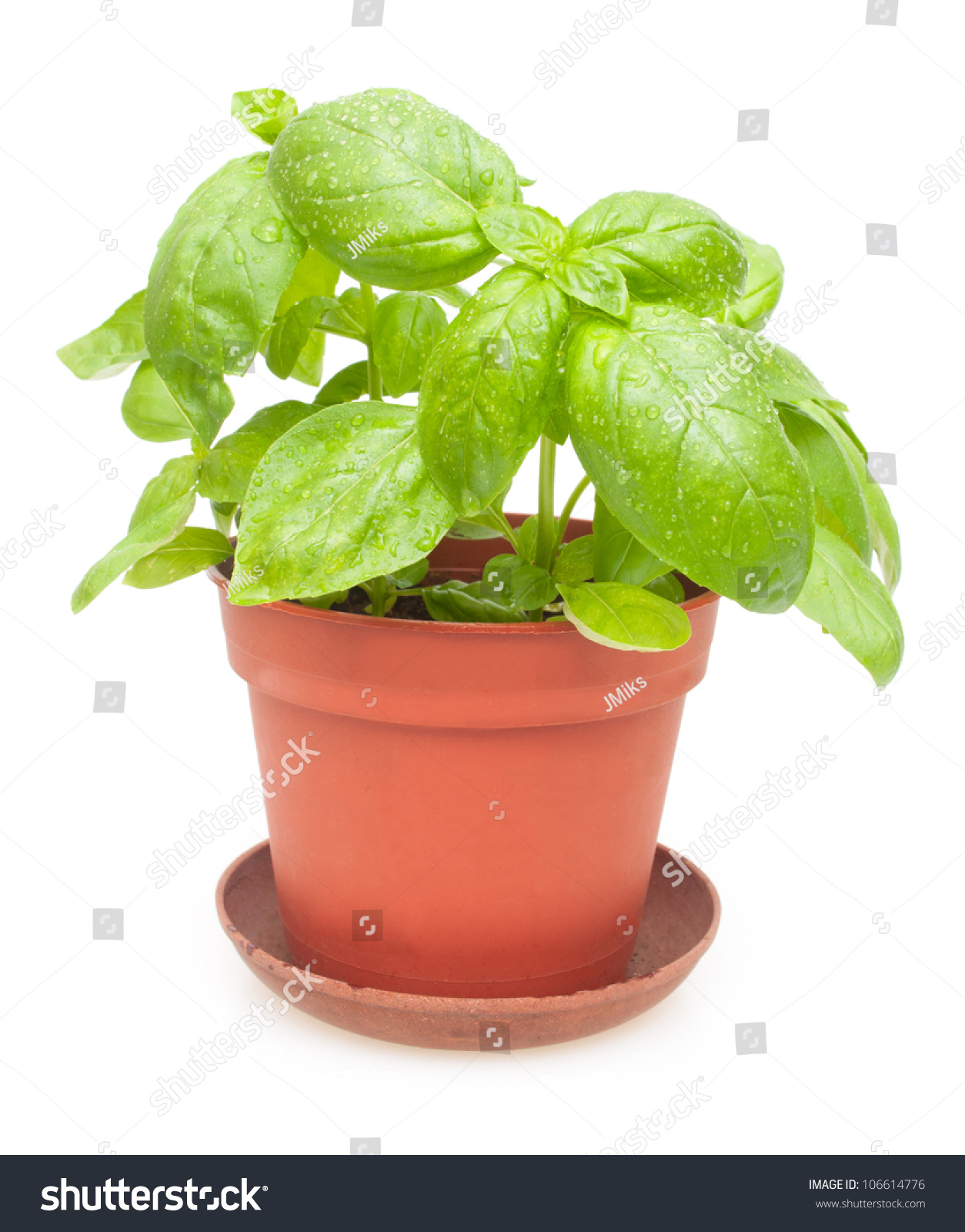 Fresh green basil in pot on white background stock photo 106614776 shutterstock - Aromatic herbs pots multiple benefits ...