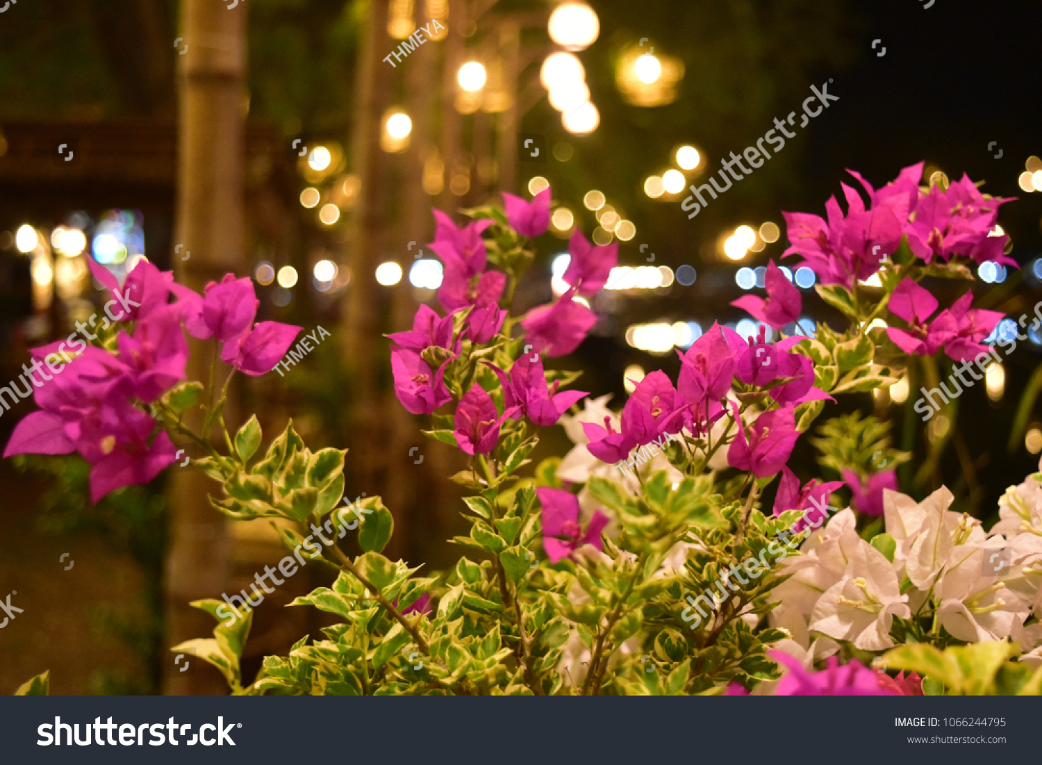 Bright Pink White Bougainvillea Flowers Blooming Stock Photo Edit