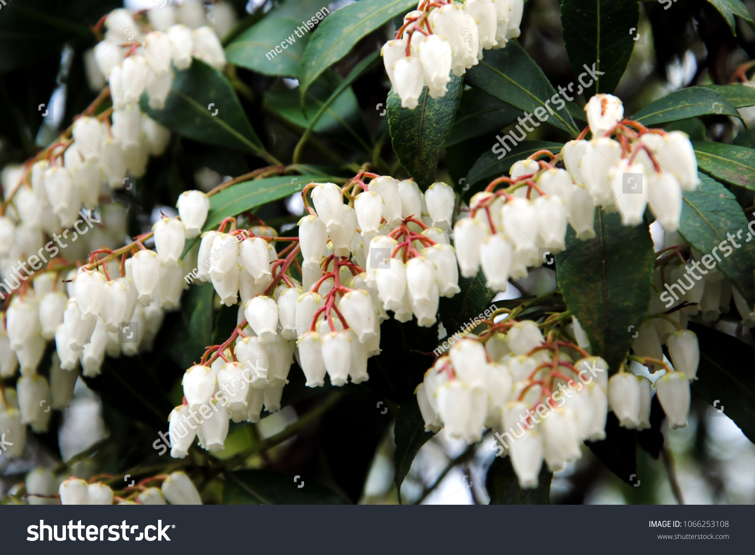 Close Clusters Small White Bell Shaped Stock Photo Edit Now