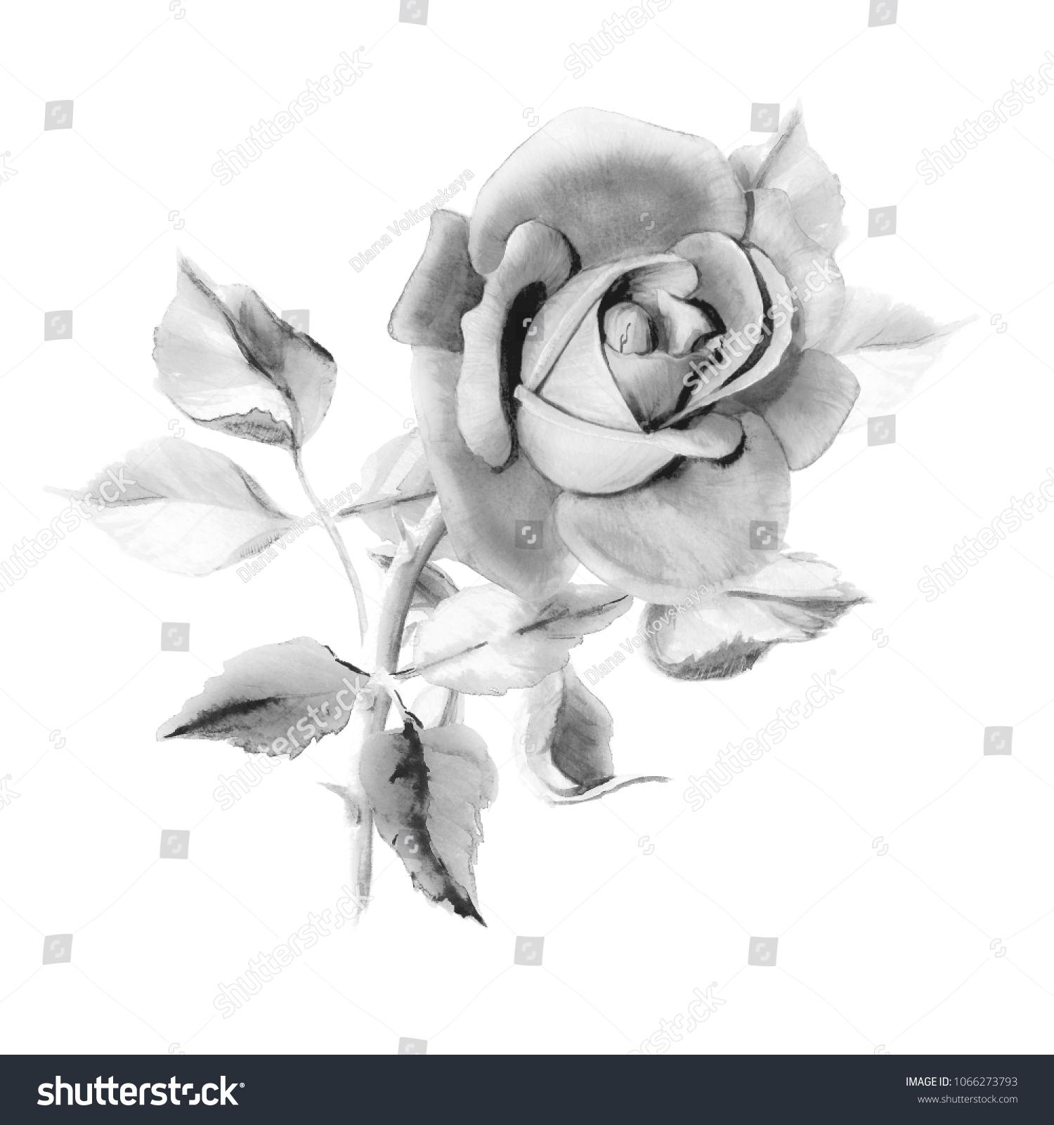 Watercolor Black White Rose Foliage Bouquet Stock Illustration
