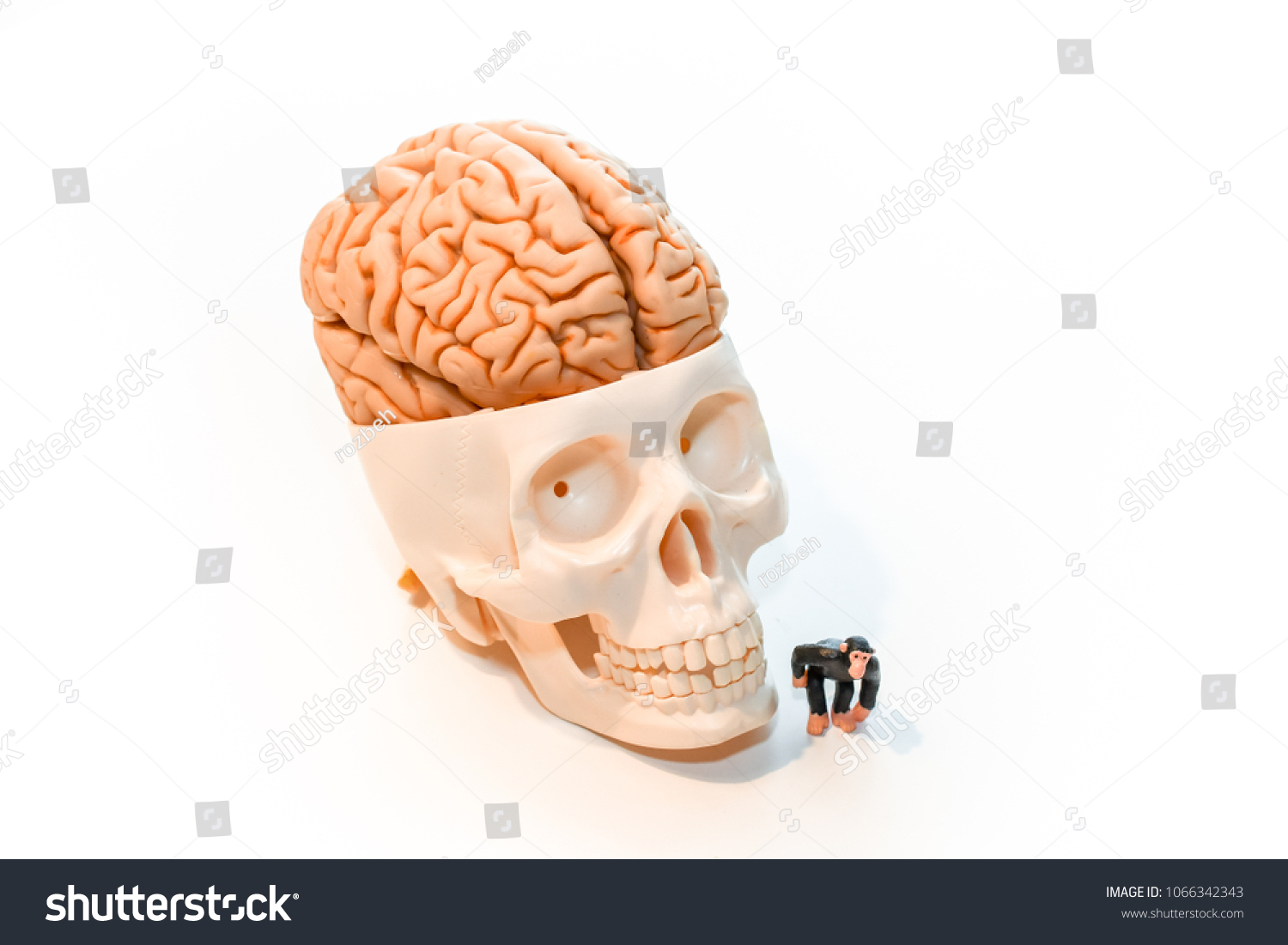 Skull Big Brain Little Monkey Toy Stock Photo (Edit Now) 1066342343 ...