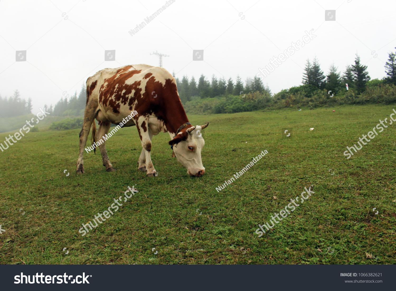 Hachka Plateau Trabzon Turkey Cow Eating Stock Photo (Edit