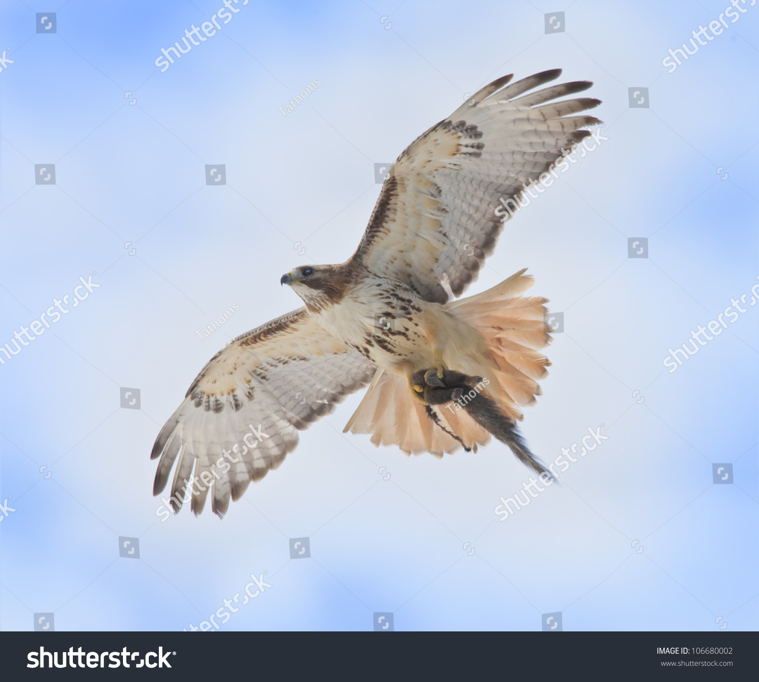 stock-photo--red-tailed-hawk-with-catch-