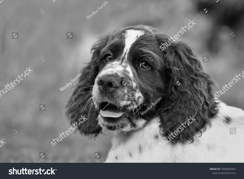 Cute English Springer Spaniel Puppy Portrait Stock Photo Edit Now 1066853063