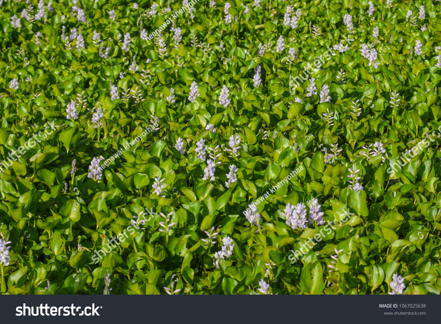 Water Hyacinth Weeds Purple Flowers Imported Stock Photo Edit Now
