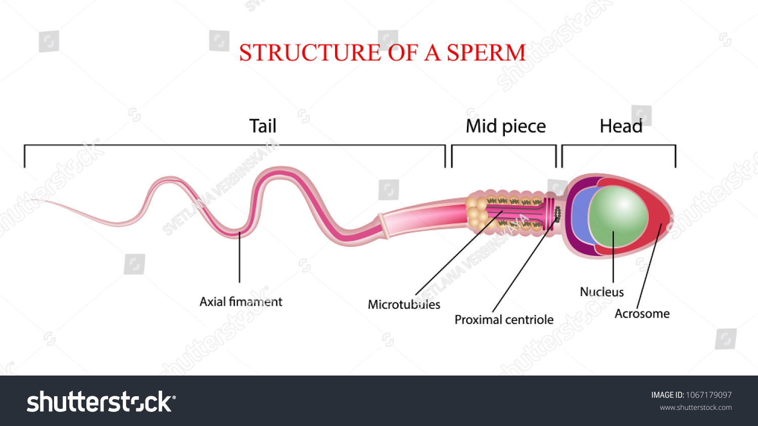 Human Sperm Cell Anatomy Structure Spermatozoon Stock Vector ...