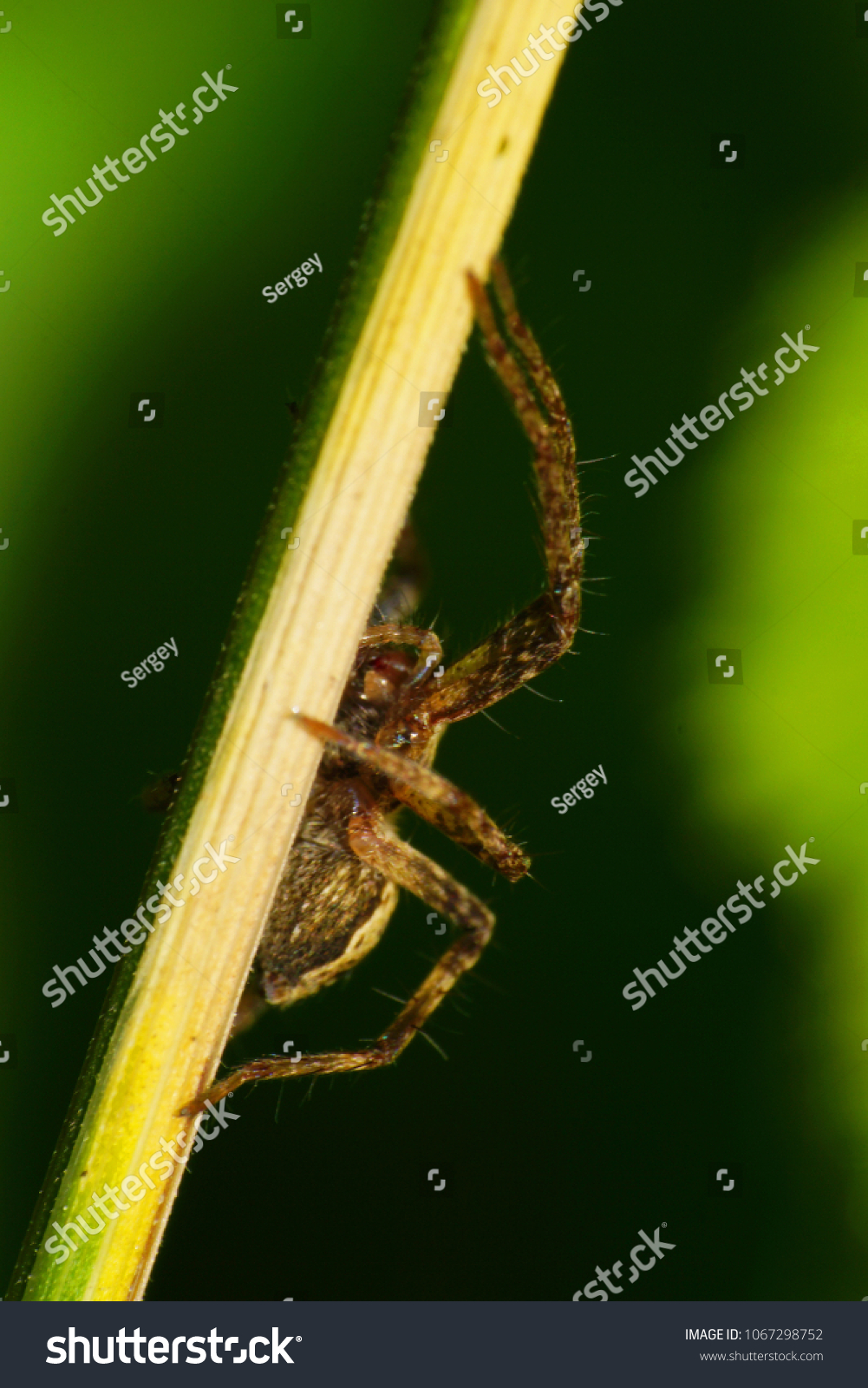 Macro of a brown spider of a wandering hunter of the Lycosidae family on a stalk in the foothills of the Caucasus                                #1067298752