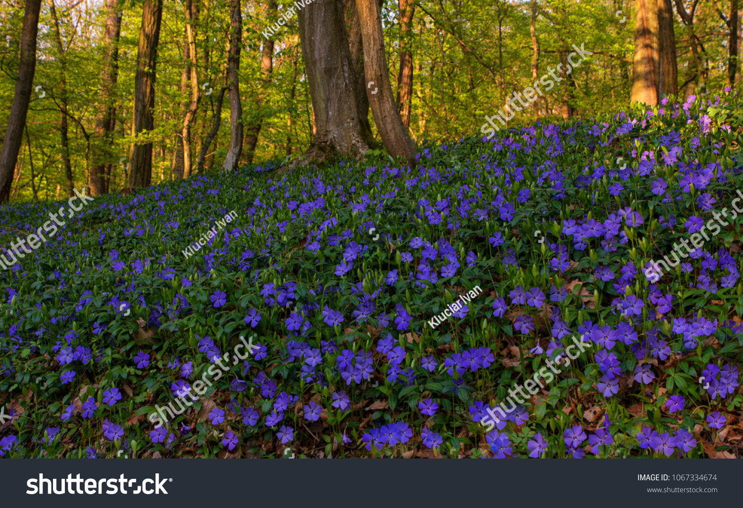 Beautiful Wild Spring Flowers Small Periwinkle Stock Photo Edit Now