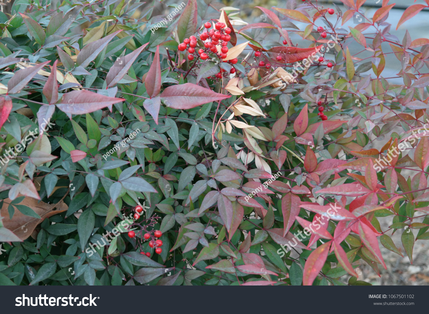 Pyracantha Bush Red Berries December Winter Stock Photo Edit Now