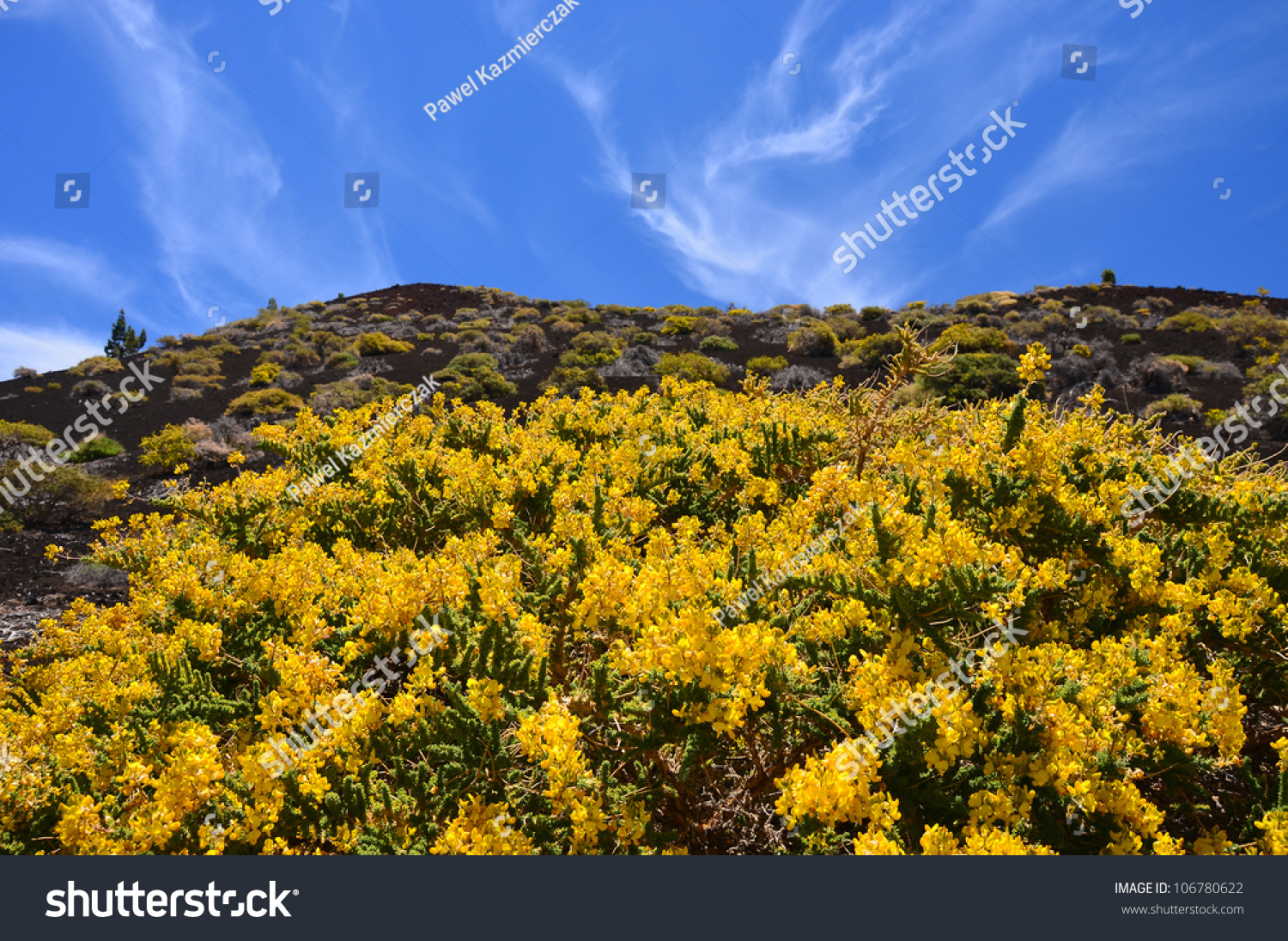Yellow Flowers Blooming Teide National Park Stock Photo 100 Legal