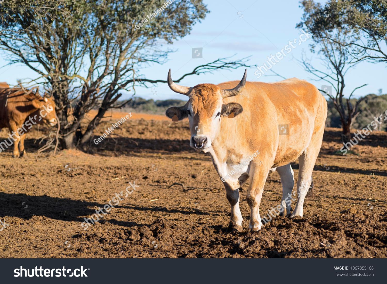 Ox Bull Spanish Cattle Farm Stock Photo (Edit Now) 1067855168 ...