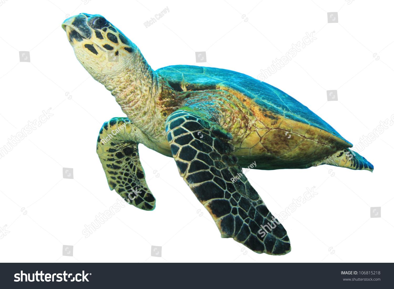 turtle white background - photo #15