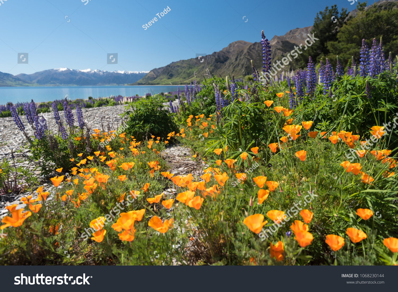 Spring Flowers On Shore Lake Hawea Stock Photo Edit Now 1068230144