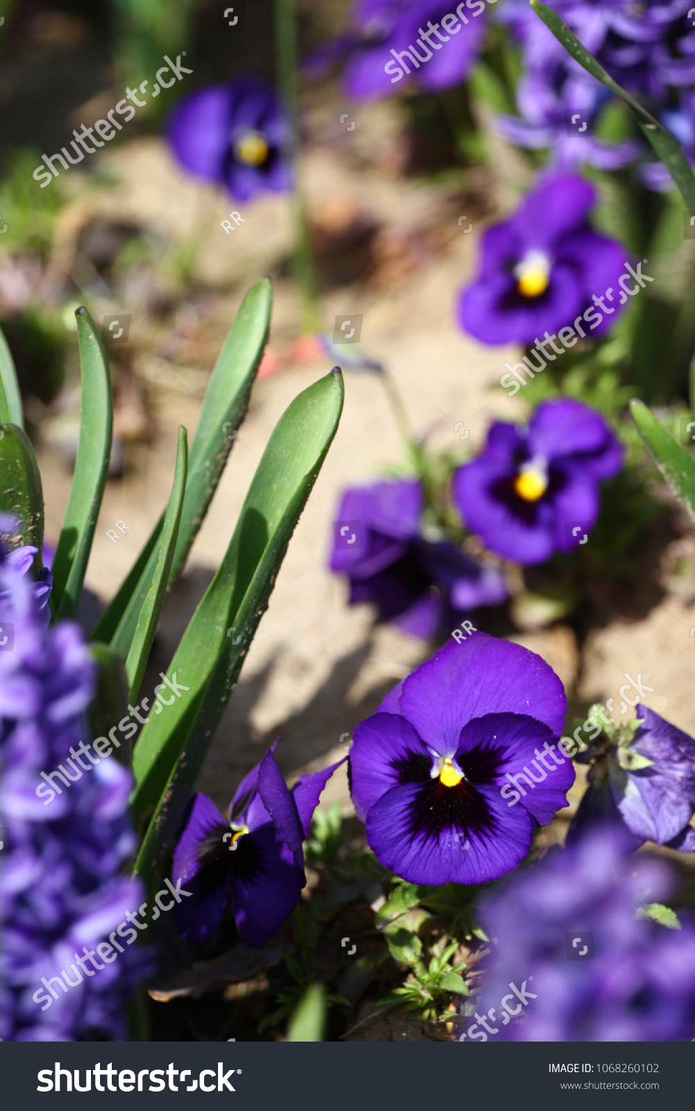 Violet Flowers Blue Violet Violets Spring Stock Photo Edit Now