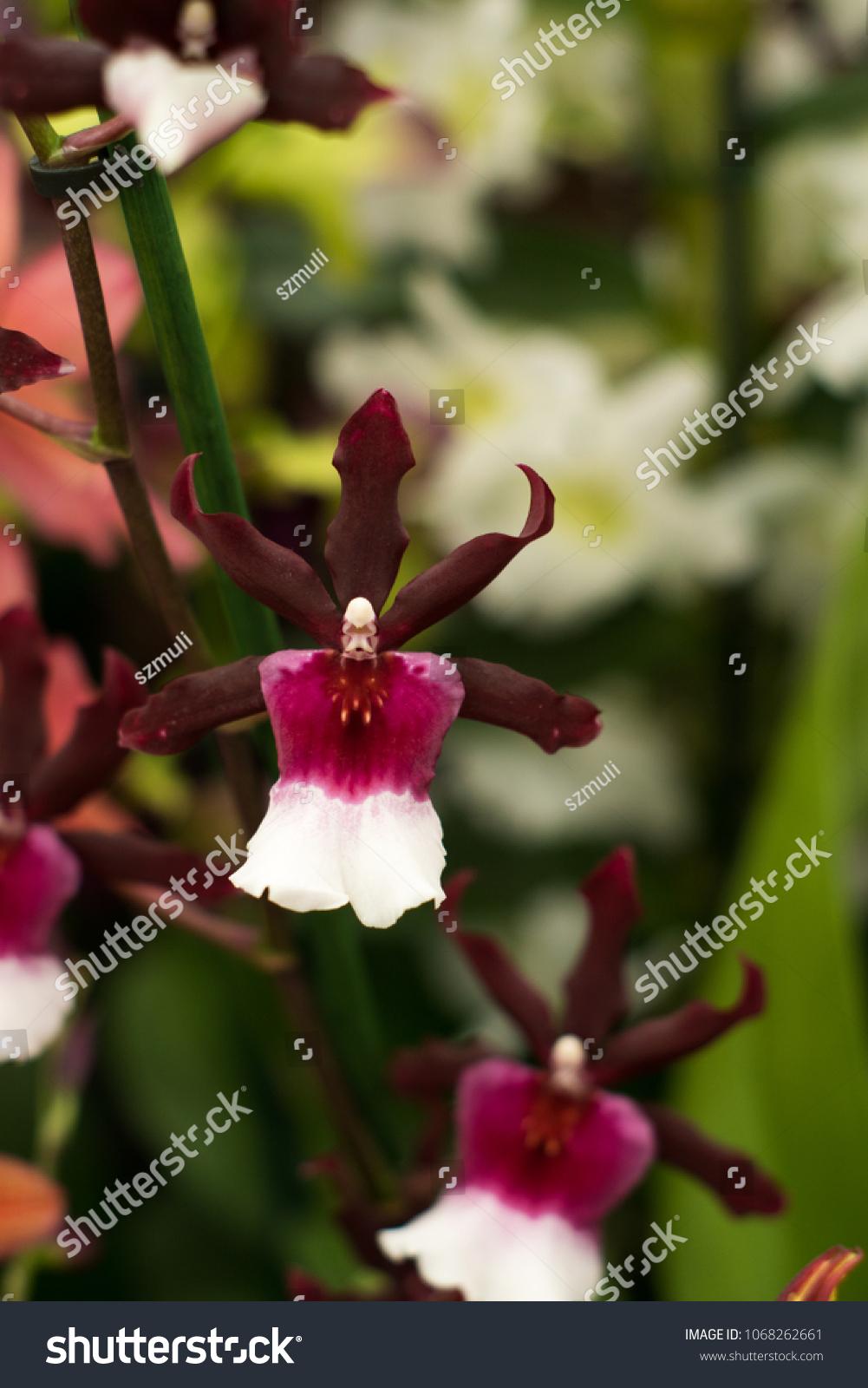 Closeup Rare Beautiful Orchid Flowers Keukenhof Stock Photo Edit