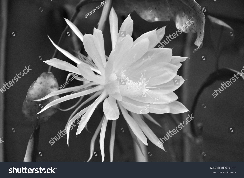 Macro White Flower Queen Night Epiphyllum Stock Photo Edit Now
