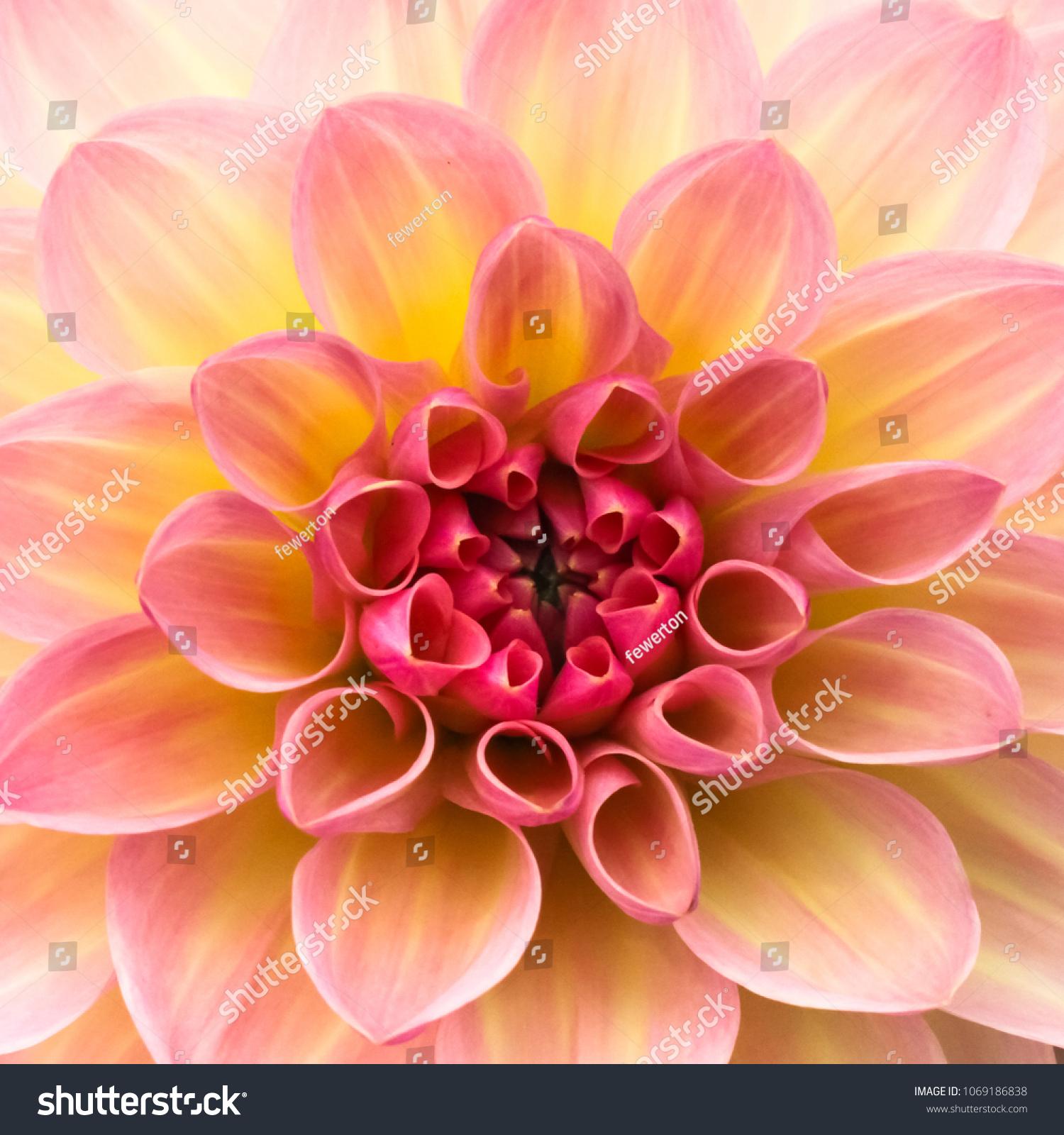 Pink Yellow White Fresh Dahlia Flower Stock Photo Edit Now