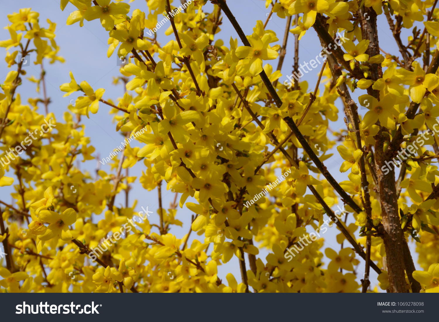 Yellow Flowers Backgroundearly Spring Blooming Bush Stock Photo