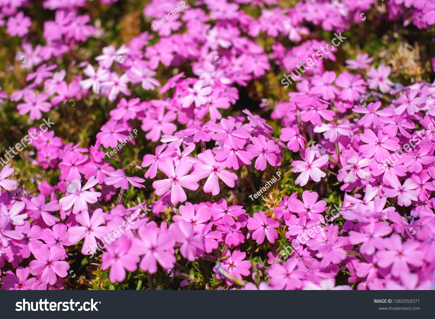 Colorful Small Pink Flowers Pink Moss Stock Photo Edit Now