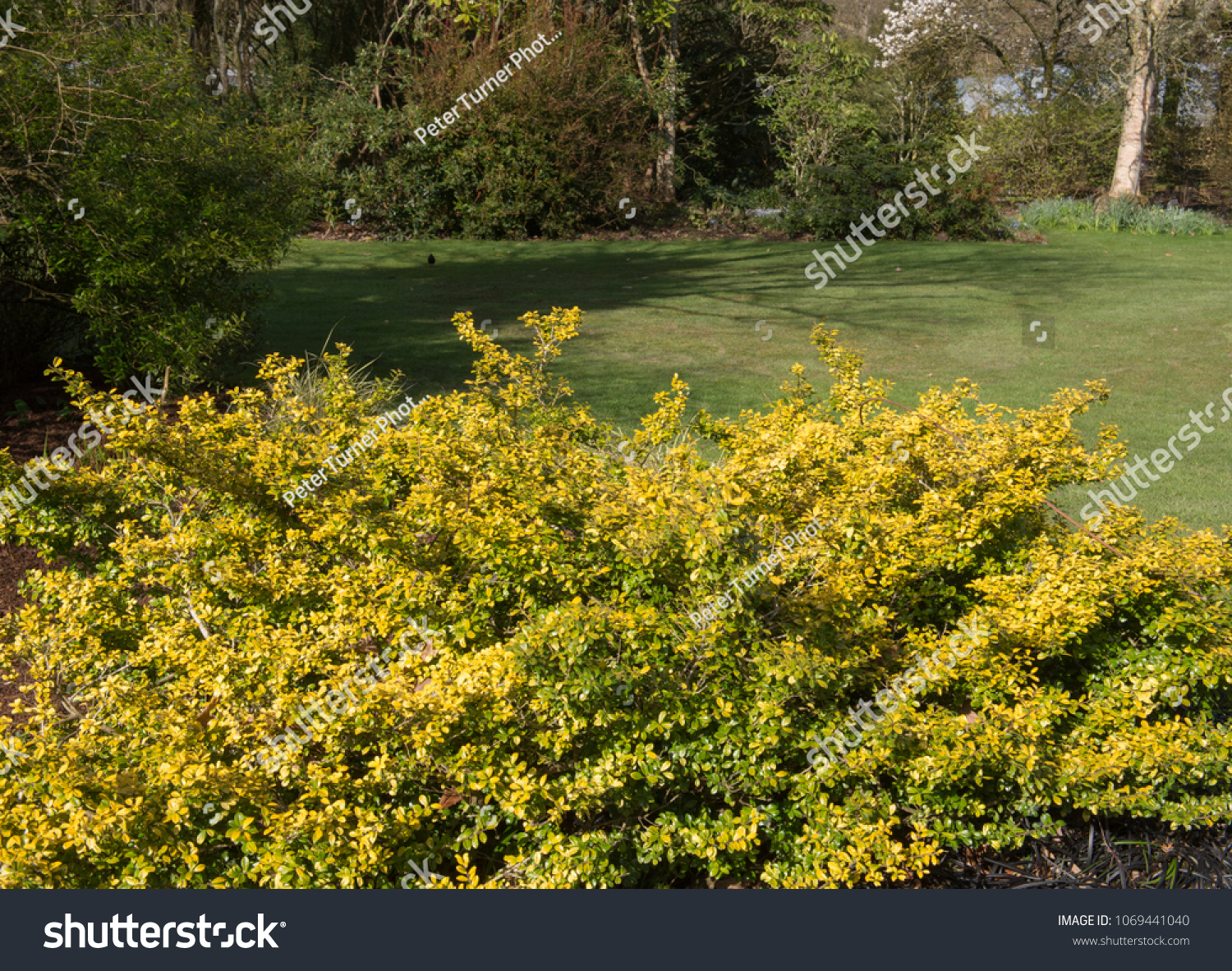 Ilex Crenata Golden Gem box leaved japanese holly ilex crenata stock photo (edit now