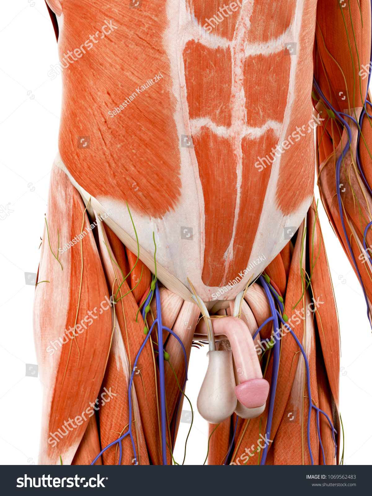 3 D Rendered Medically Accurate Illustration Human Stock ...