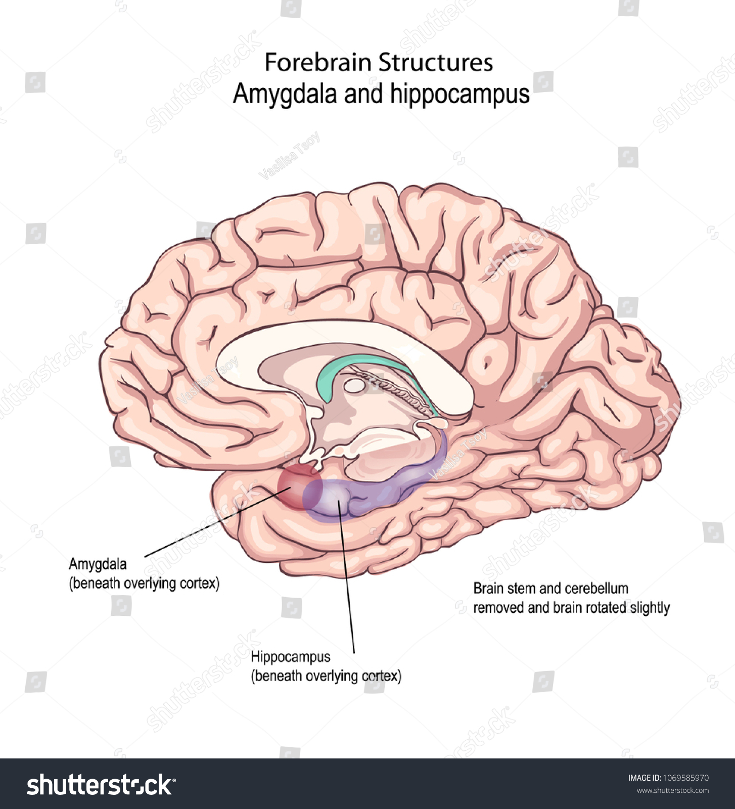 Forebrain Structures Regulating Emotional States Emotional Stock