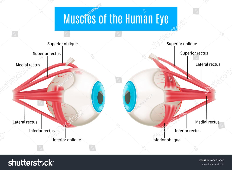 Eye Anatomy 3 D Diagram Infographics Layout Stock Vector 1069619090 ...