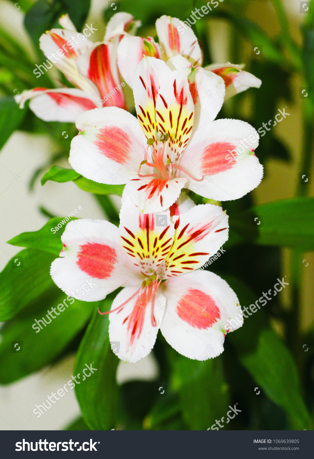 There alstroemeria flowers bouquet common name stock photo edit now there are alstroemeria flowers in the bouquet common name called the peruvian lily or lily izmirmasajfo