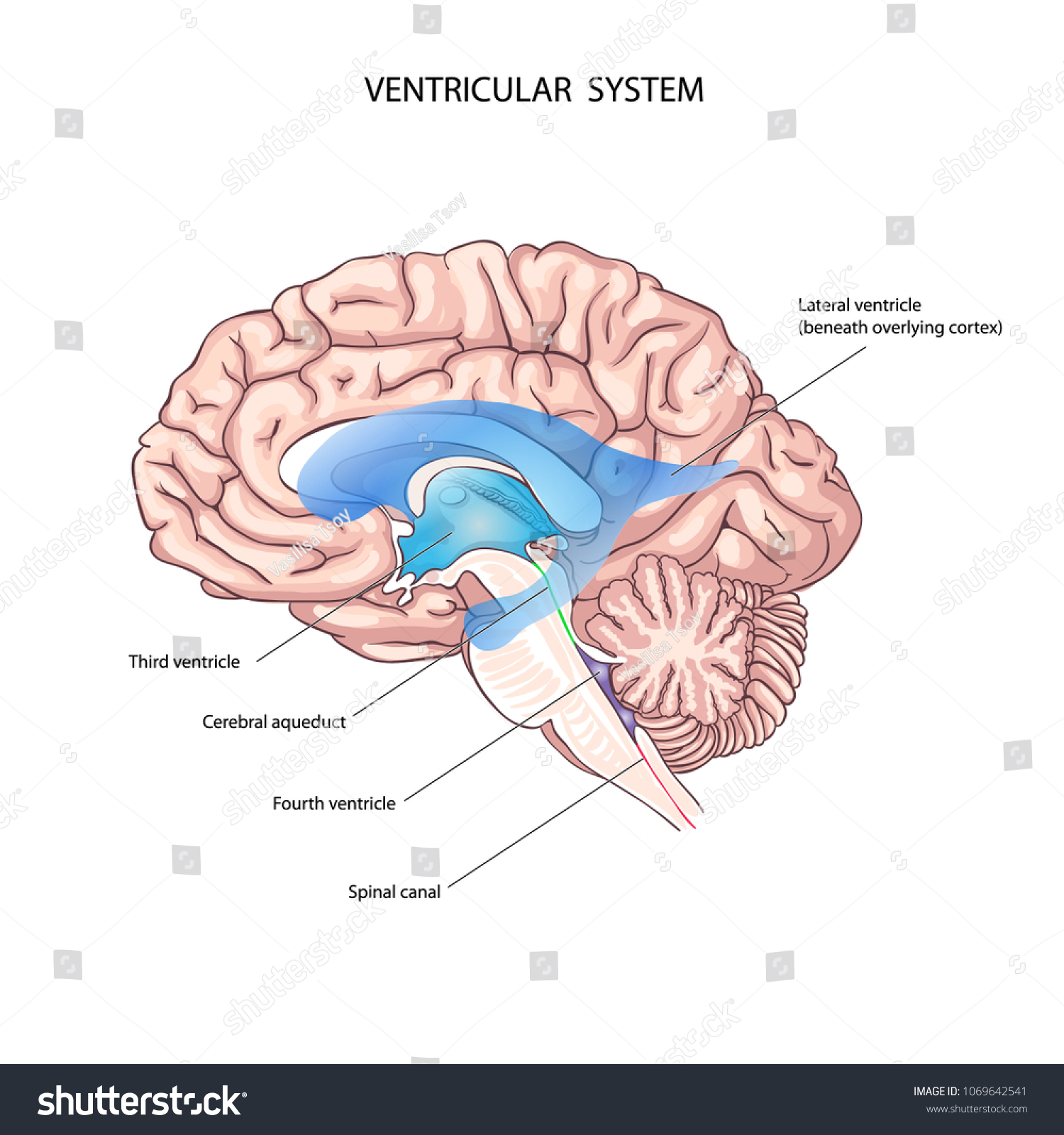 Human Ventricular System Brain Anatomy Third Stock Vector HD ...