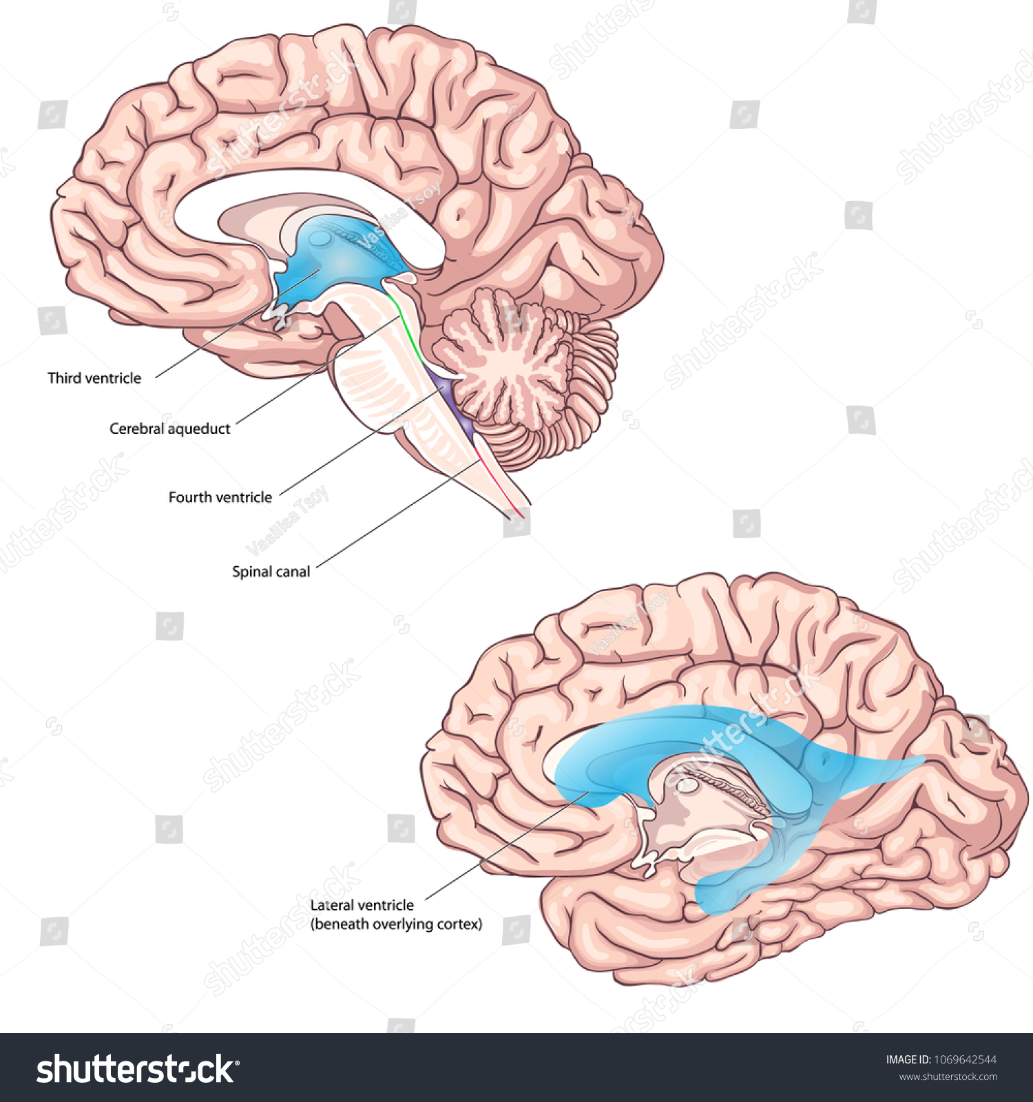 Human Ventricular System Brain Anatomy Third Stock Vector 1069642544 ...