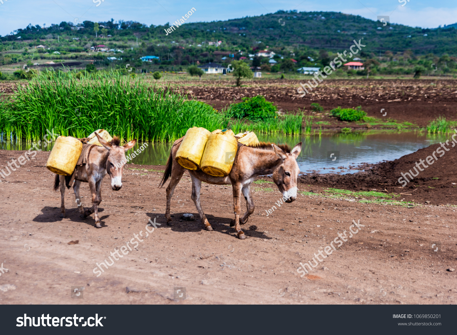 Two donkeys walking along dirt road in rural Kenya. They are fitted with harnesses and transporting panniers filled with stream water for a building site. Rural scene. #1069850201