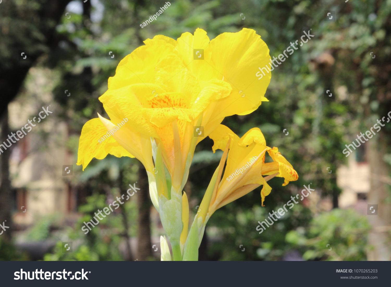 Beautiful Canna Flower Stock Photo Royalty Free 1070265203