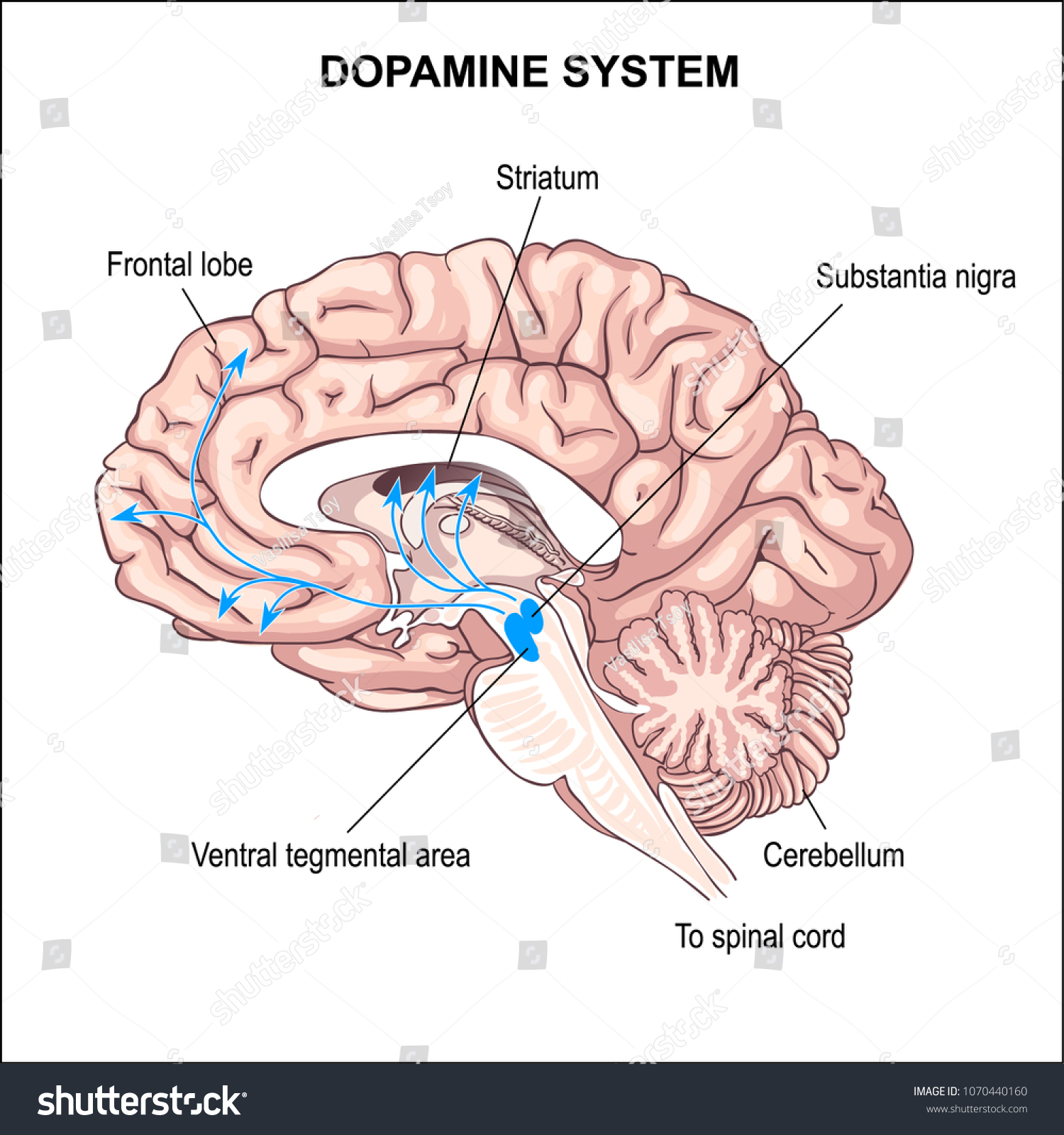 Dopamine System Anatomy Central Nervous System Stock Vector Royalty
