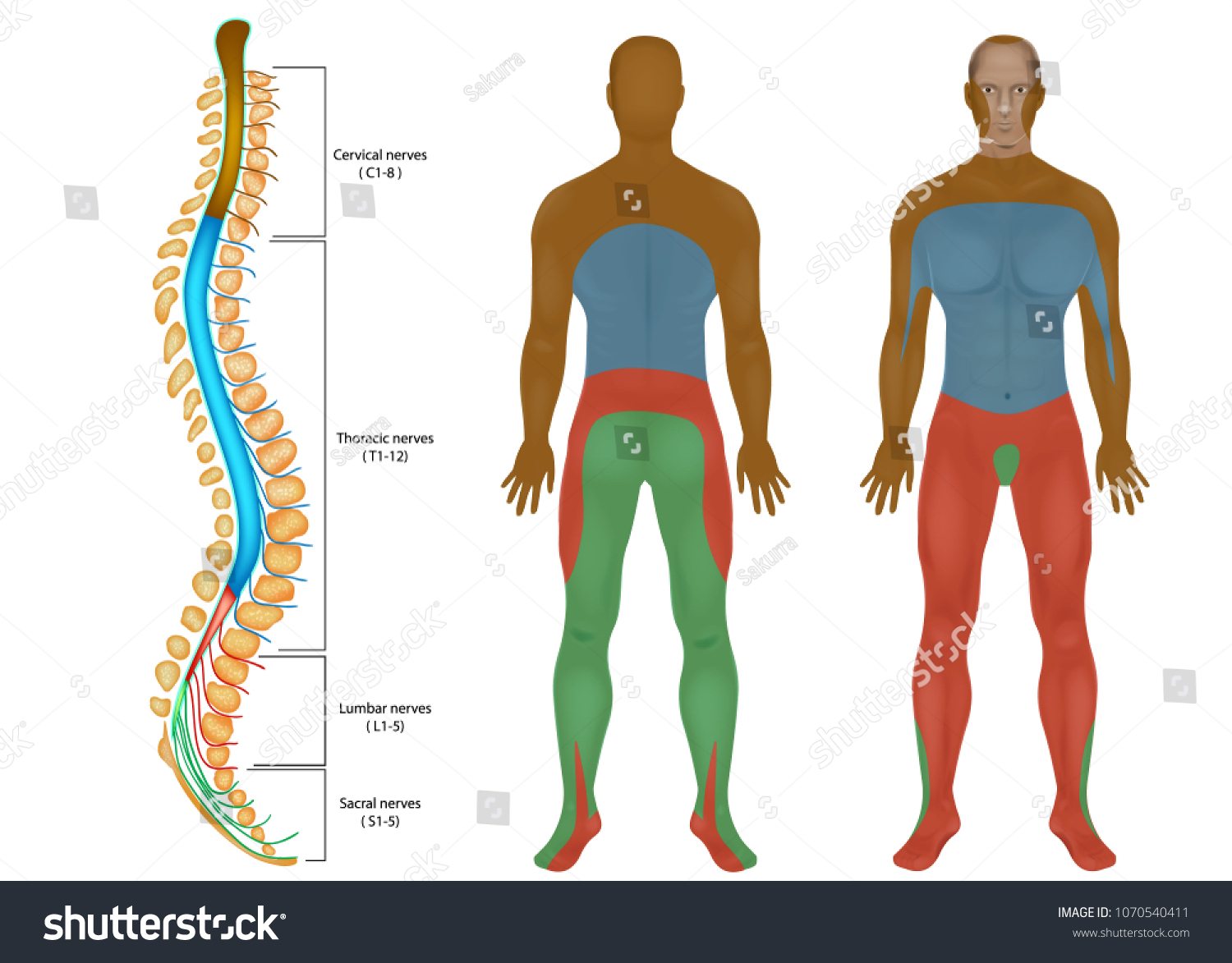 Spinal Nerves Chart Spinal Cord Peripheral Stock Vector Royalty