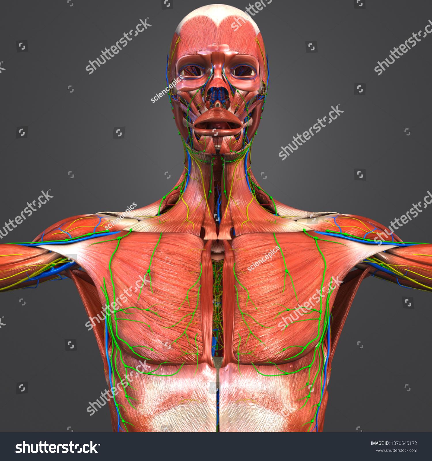 Human Muscular Anatomy Arteries Veins Nerves Stock Illustration